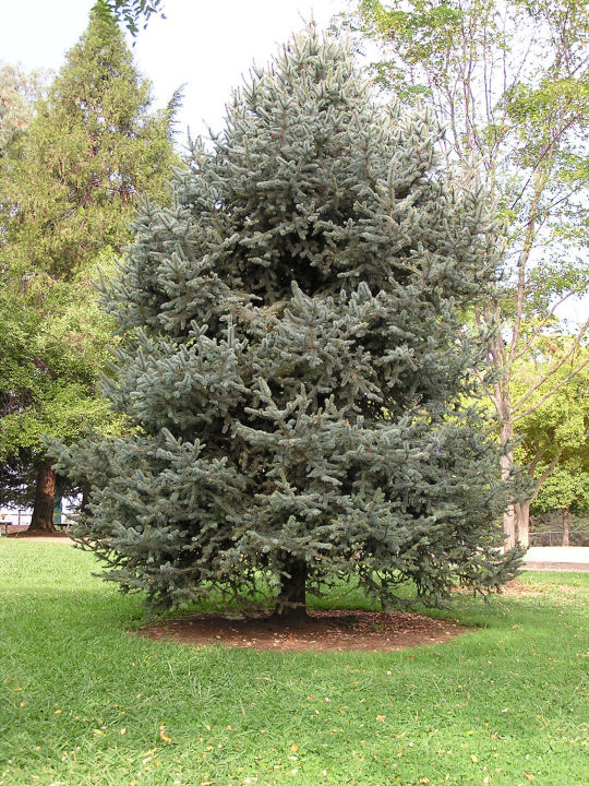 Photo of an Evergreen Tree