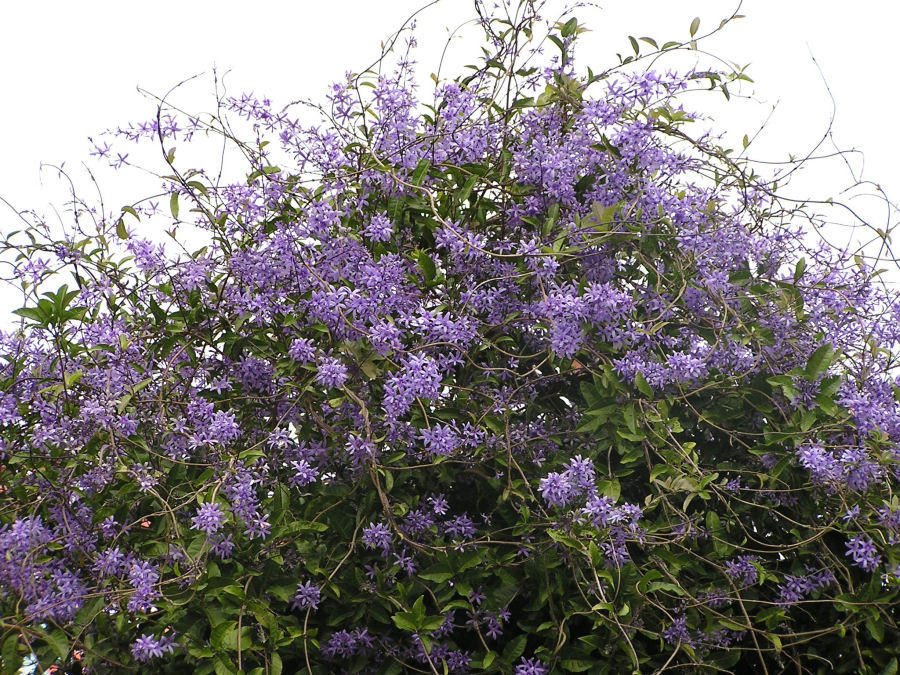 Bushes and Trees Photos: Purple Flowring Bush. Photo of a Flowering Bush