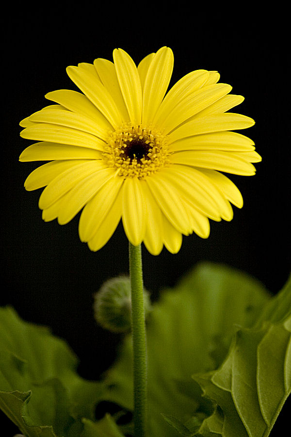 Photograph of a Yellow Daisy, www.akidsphoto.com