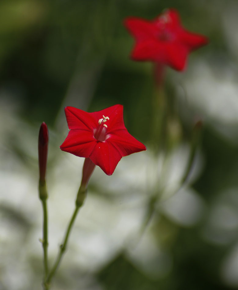 Photo of a Red Star Flower at www.akidsphoto.com