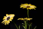 Photo of African Daisy