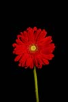 Photo of Gerbera Daisy