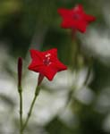Photo of Red Star-shaped Flower