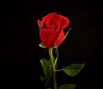 Photo of Red Roses