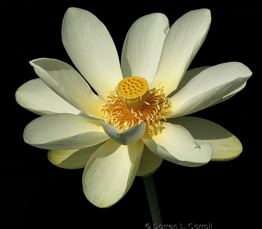 Photo of Water Lily, www.akidsphoto.com