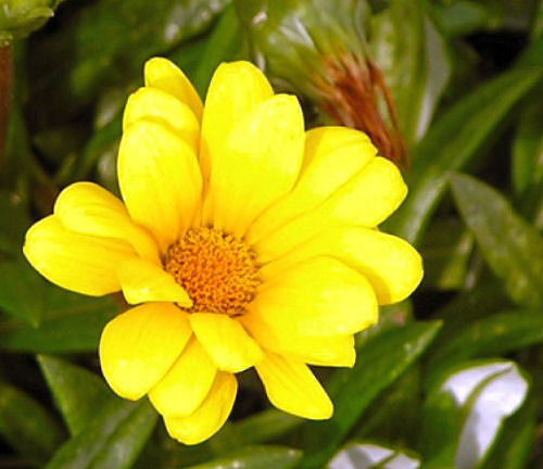 Photo of yellow gazania, www.akidsphoto.com