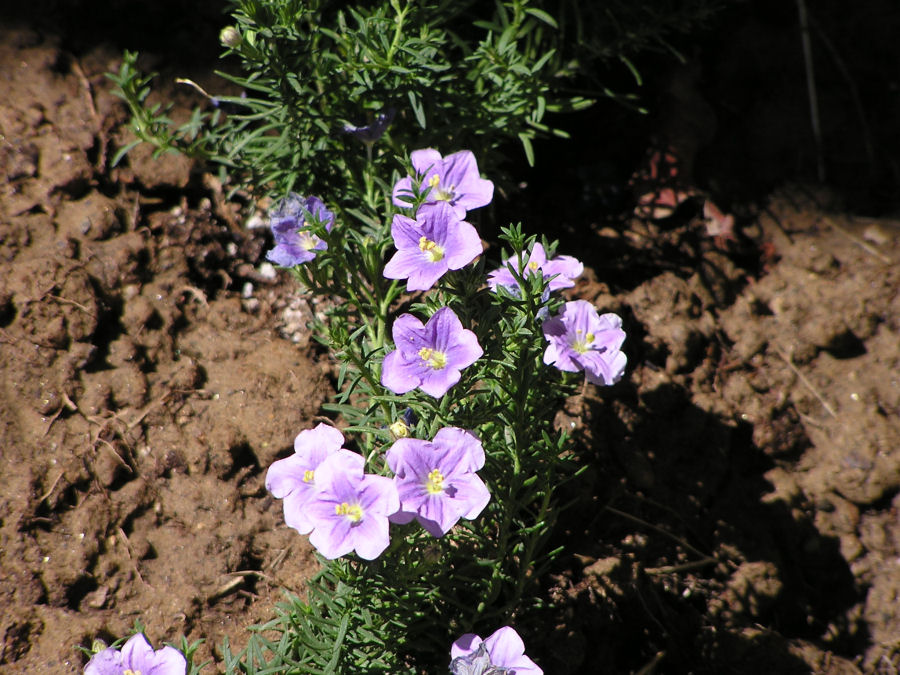 Photo of Purple Phlox Ground Cover, www.akidsphoto.com