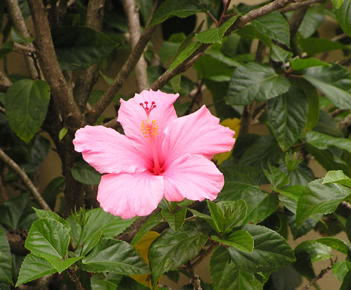 Photo of Pink Hibiscus, www.akidsphoto.com