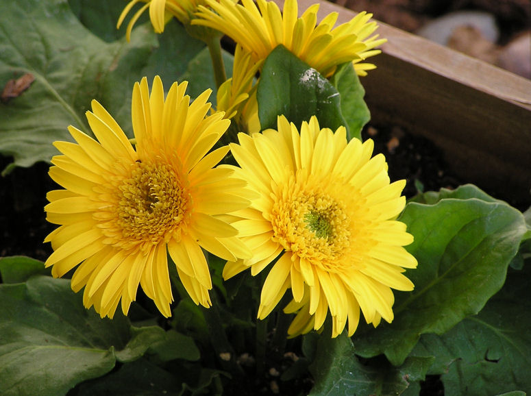 Photo of a Yellow Mums, www.akidsphoto.com
