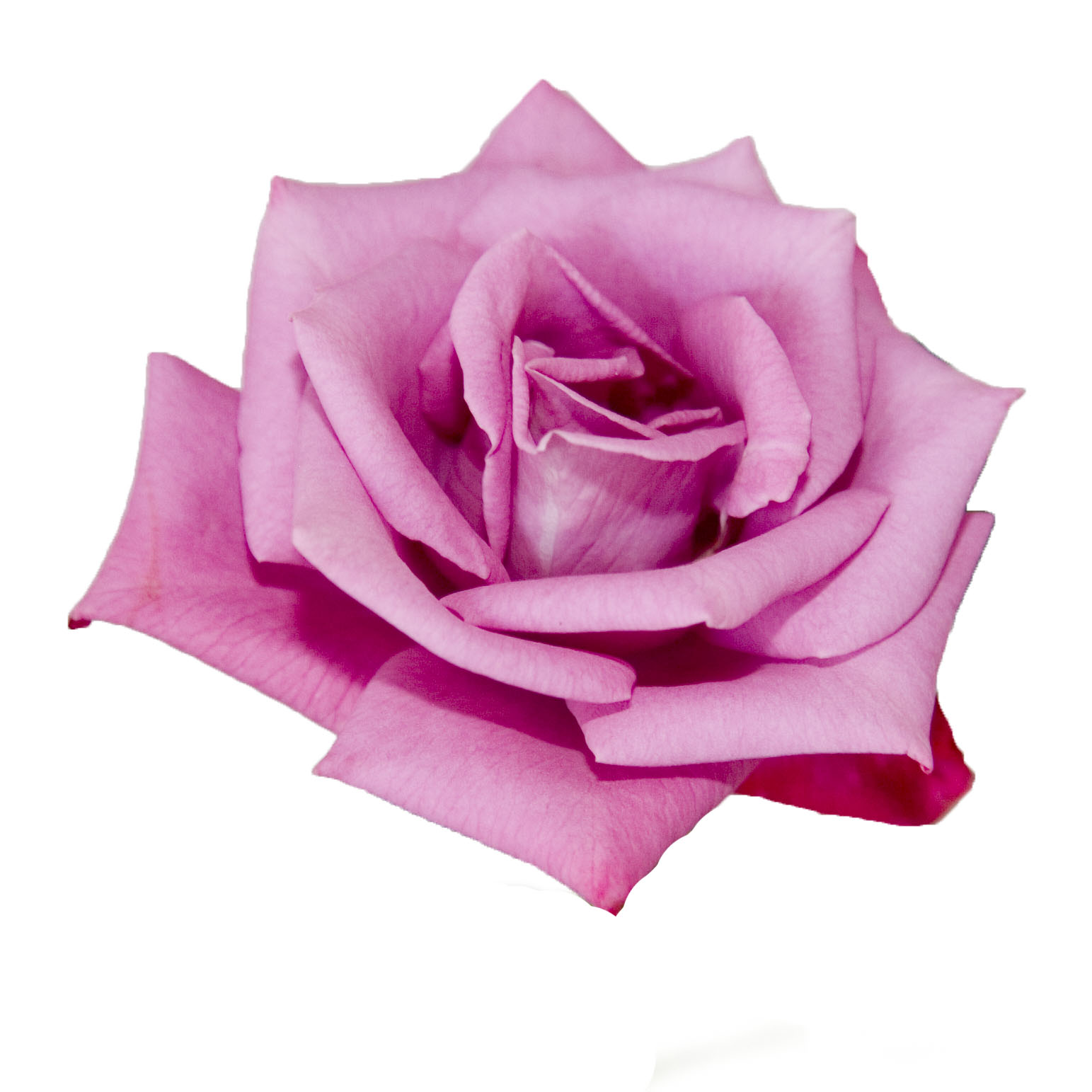 A Kids Photo Pink Rose With White Background