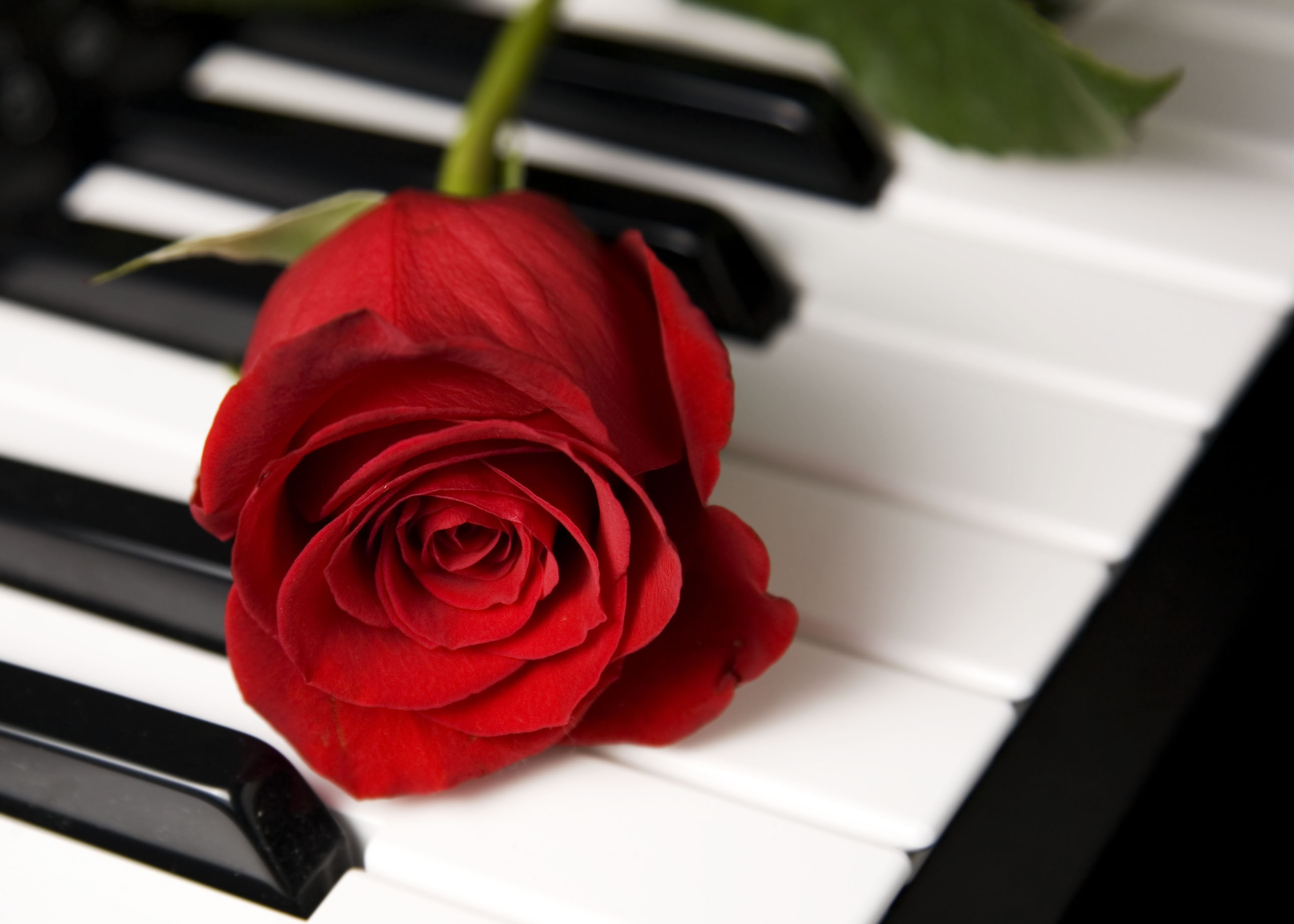 Red Rose on piano Photo, www.akidsphoto.com