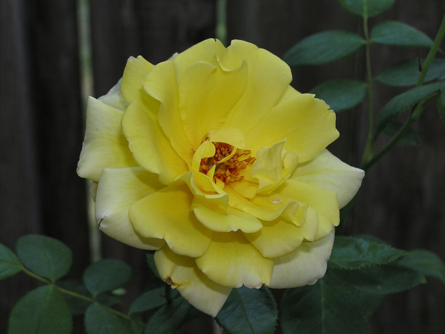 www.akidsphoto.com, Yellow rose photo