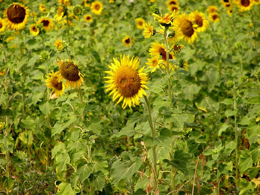 Photo of Sunflowers, www.akidsphoto.com