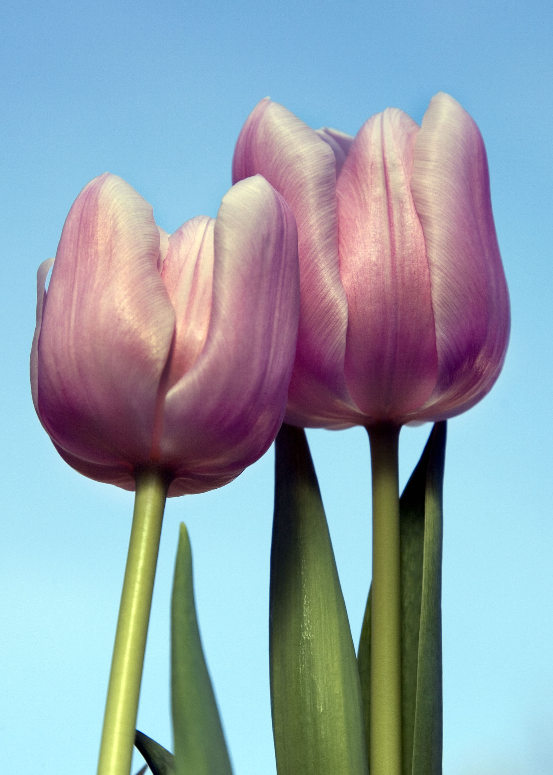 Photo of Pink Tulip