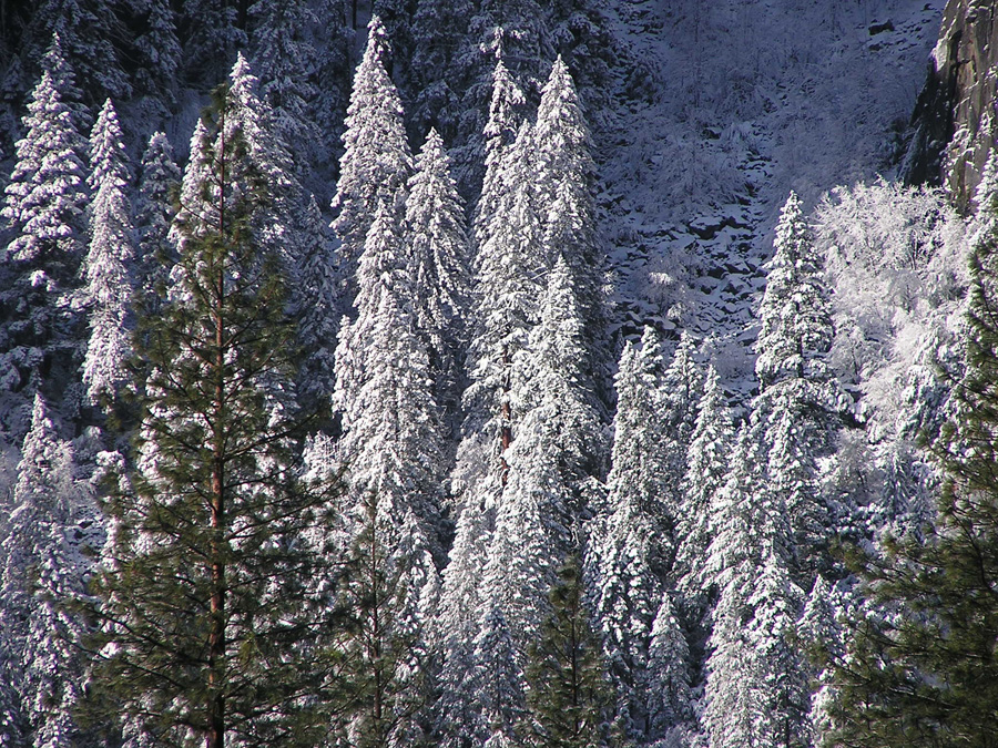 Photo of Snowy Pines