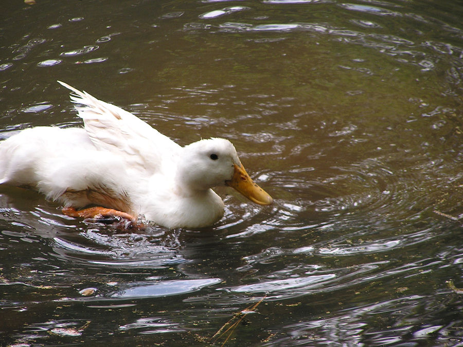 Photo of a Duck