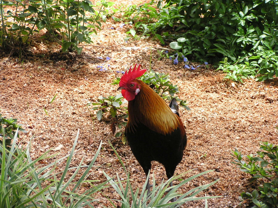 Photo of a Rooster