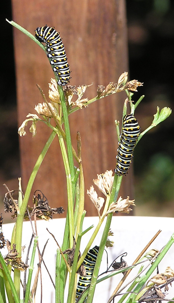 Black Swallotail Caterpillars Eating Parsley