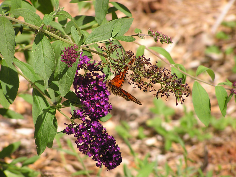 Monarch Butterfly on a Butterfly Bush