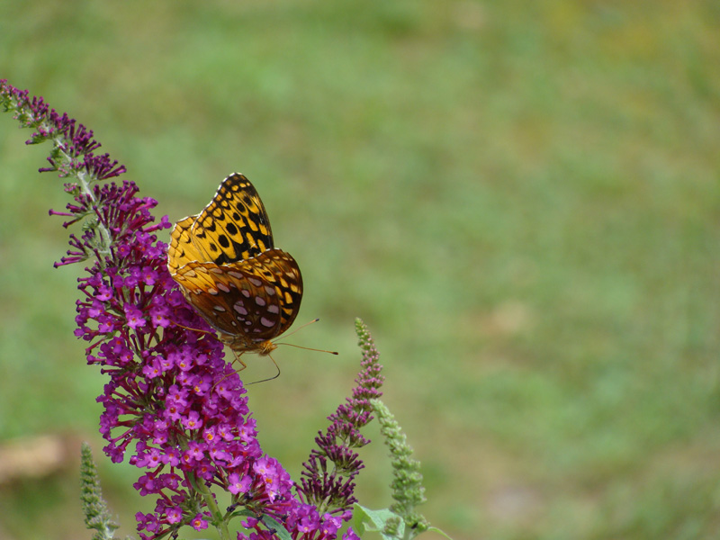 Great Spangled Fritillary Butterfly on a Butterfly Bush