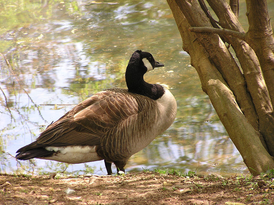Photo of Canadian Geese