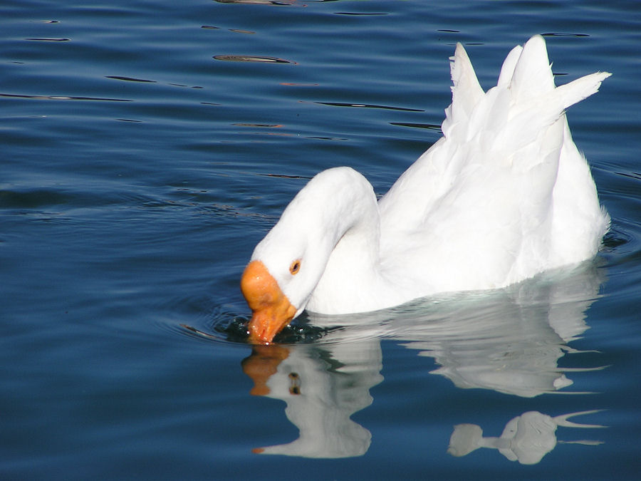 Photo of White Goose Geese