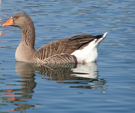 Photo of Goose Geese