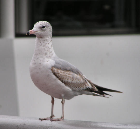 Photo of Sea Gull