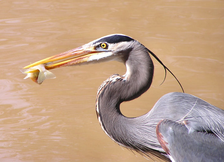 Photo of Heron