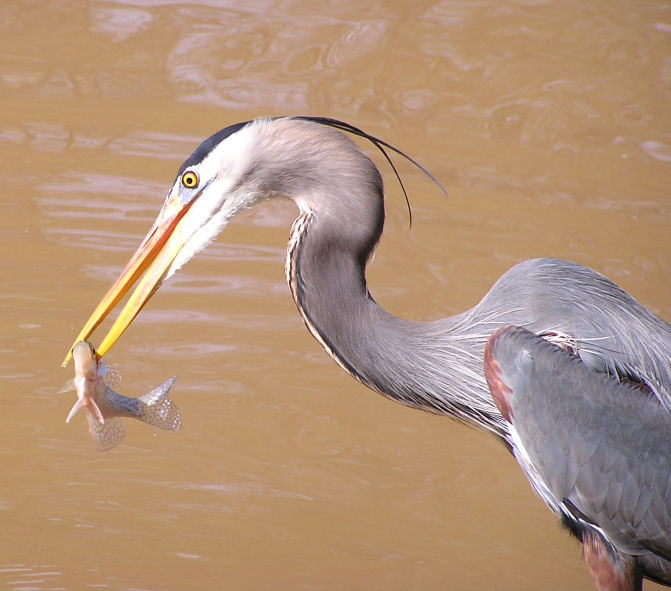Photo of a Heron