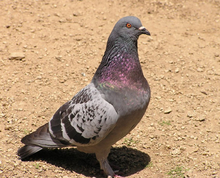 Photo of a Pigeon
