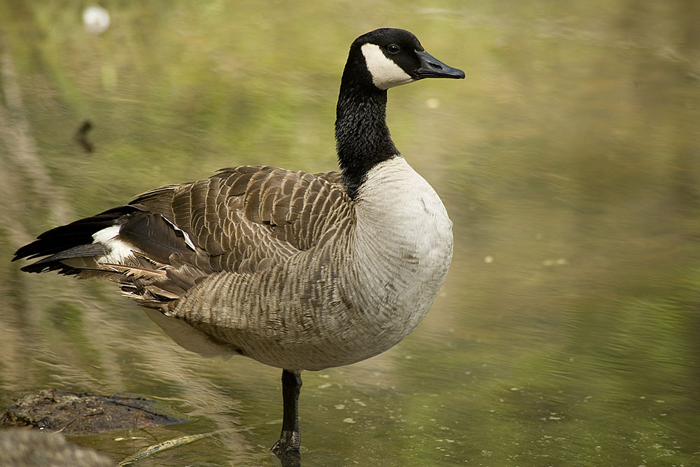 Photo of Canadian Goose