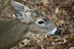 Photo of a White-Tail Deer