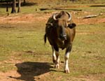 Photo of an Ox