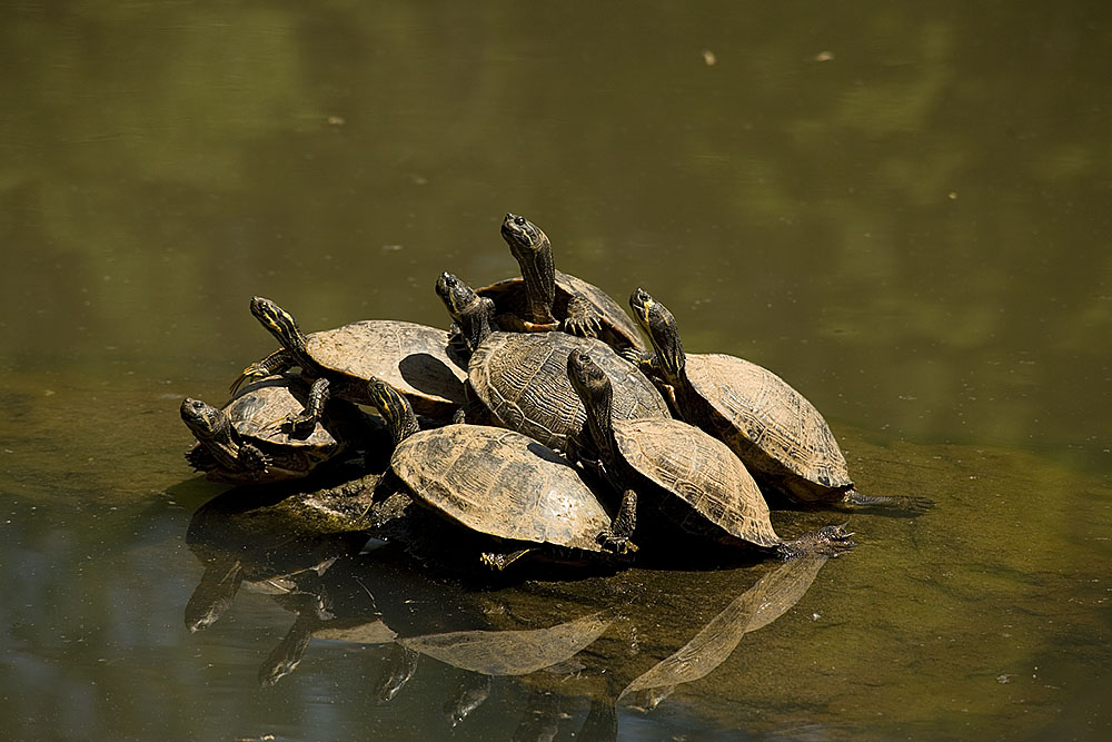 Photo of a stack of turtles