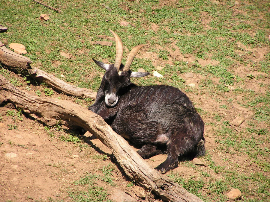 Photo of a Black Billy Goat
