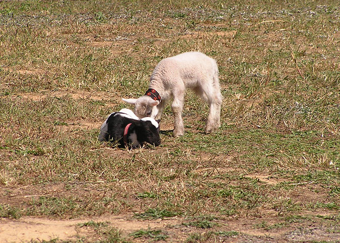 Photo of Two Kid Goats