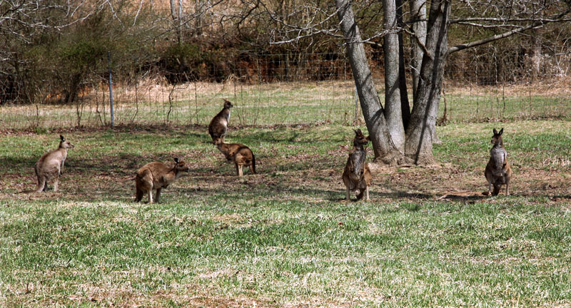Photo of a Kangaroo Mob