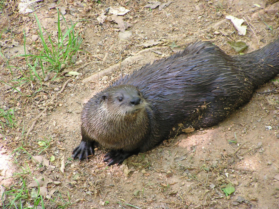 Photo of River Otter