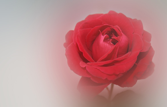 Photo of a soft rose
