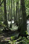 Natchez Trace Swamps