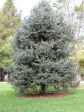 Evergreen Tree Thumbnail