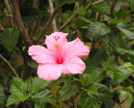 hibiscus photo