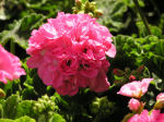 Pelargonium Photo