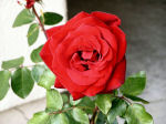 Red rose photo thumbnail