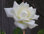White rose photo thumbnail