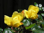 Photograph of yellow roses
