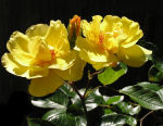 Yellow Rose Thumbnail
