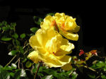 Photo of Yellow Rose