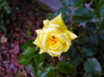 Yellow Rose Photo Thumbnail
